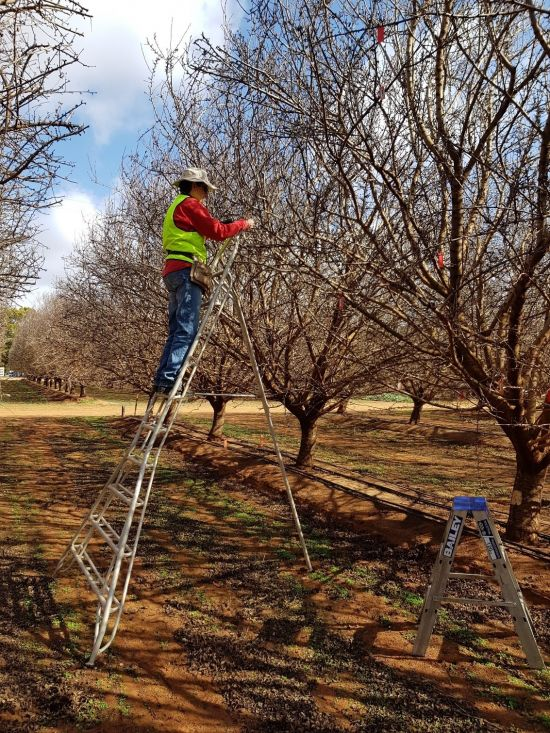 Reseacher Cathy Taylor, on a ladder, busy with spur assessments in winter to determine spur fertility (number of floral buds) and vitality (which spurs survived) of the tagged spurs.