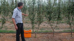 Pear planting systems experiments