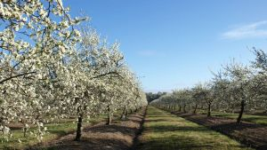 Spray thinning for crop load management of fresh market plums