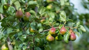 Apple and Pear production in a changing climate
