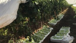 Impacts on table grapes from delays between harvesting and cooling