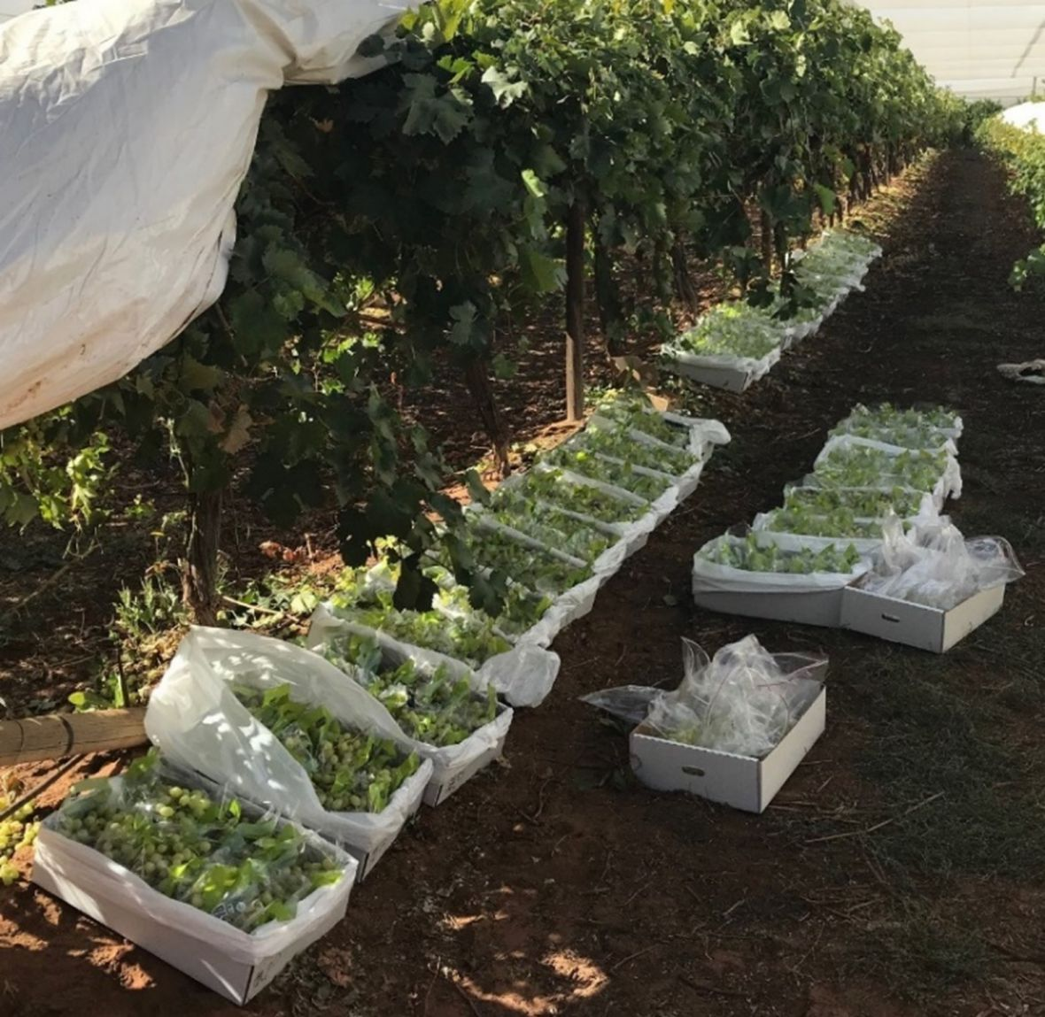 'Luisco' grapes packed into cartons during rot risk prediction and delayed cooling experiment in Mildura during March 2021.