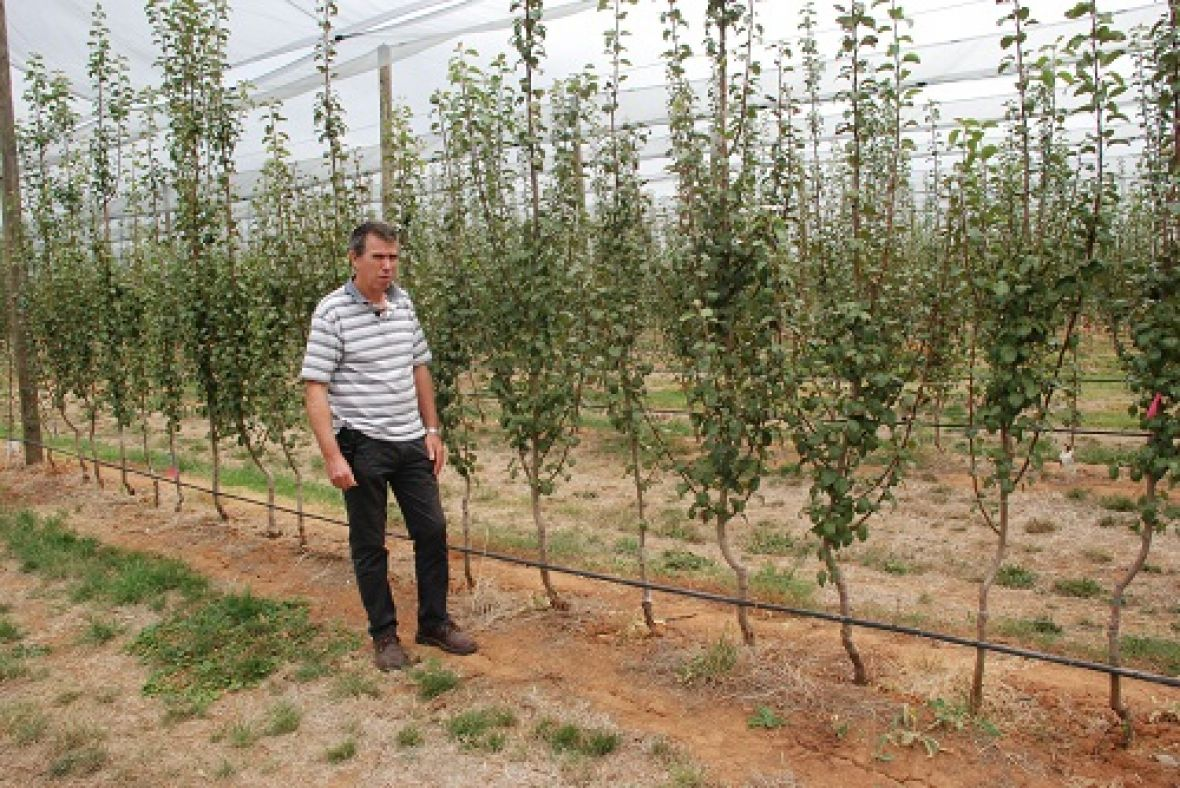 Dr Ian Goodwin at Tatura Pear Field Laboratory with a single leader tree training system