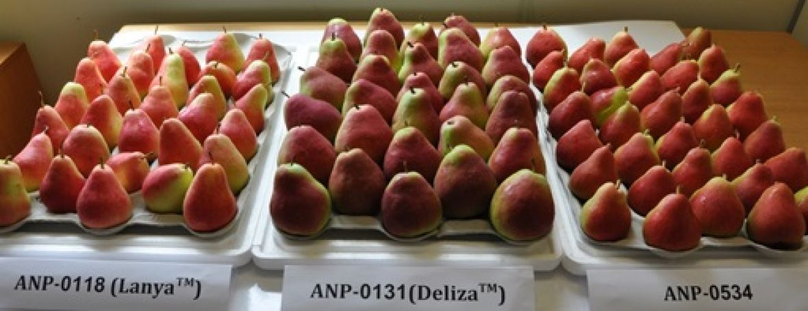 New blush pear varieties