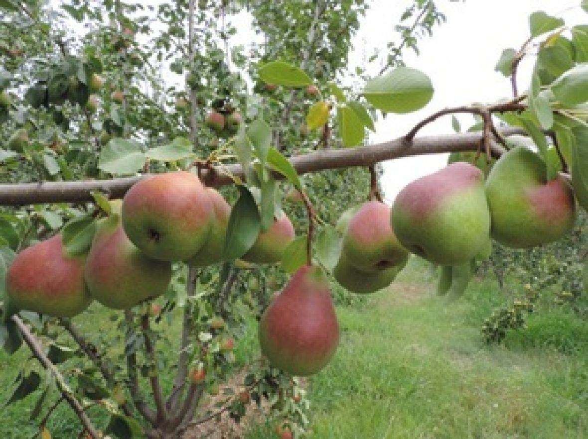 Picture of Deliza Pears on a branch