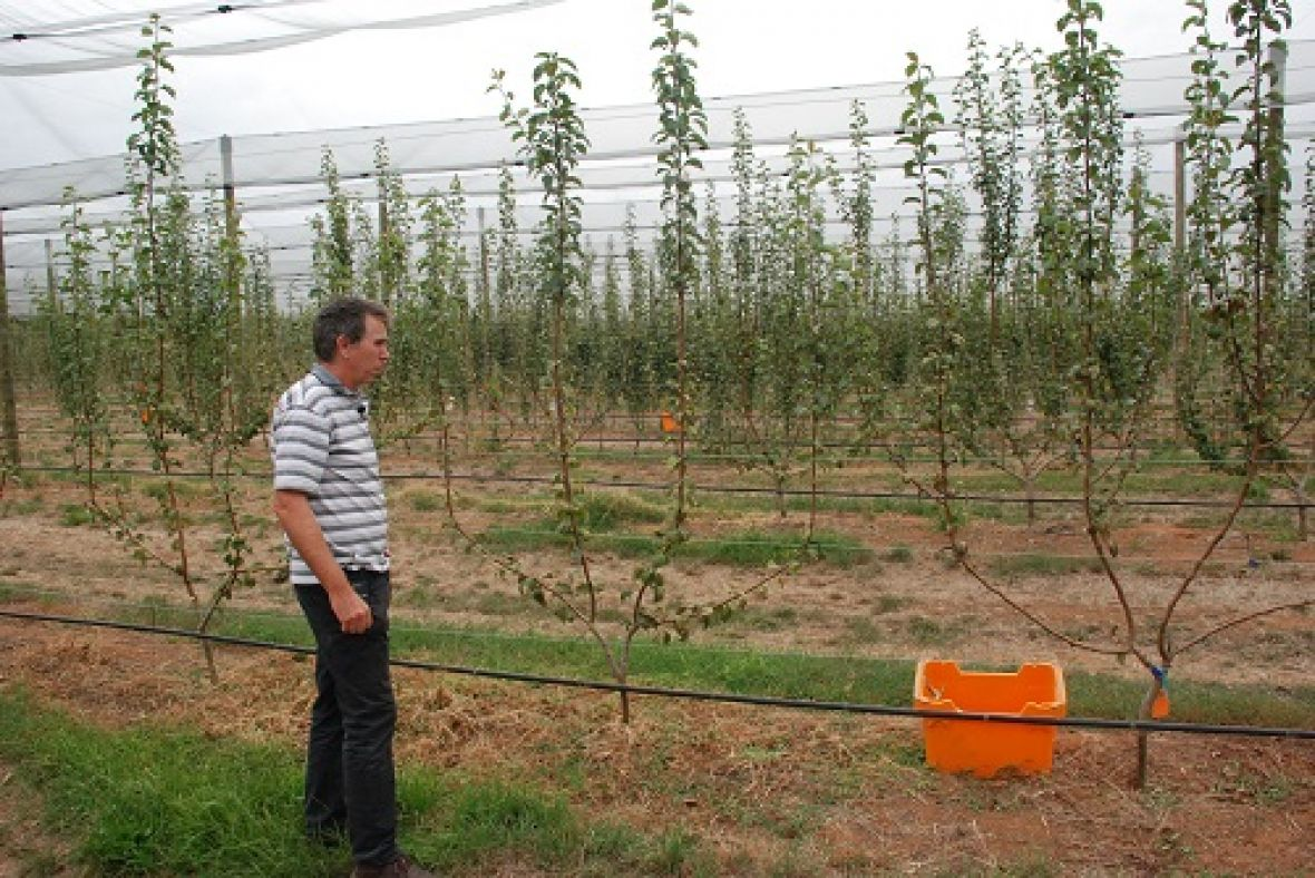 Dr Ian Goodwin at Tatura Pear Field Laboratory with a Multi-leader Tree Training System