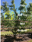 Figure 2. Rose bright tree height sections and scaffold compartments used in crop load experiment