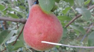 Blush development in pears.    Part 2 - orchard practices
