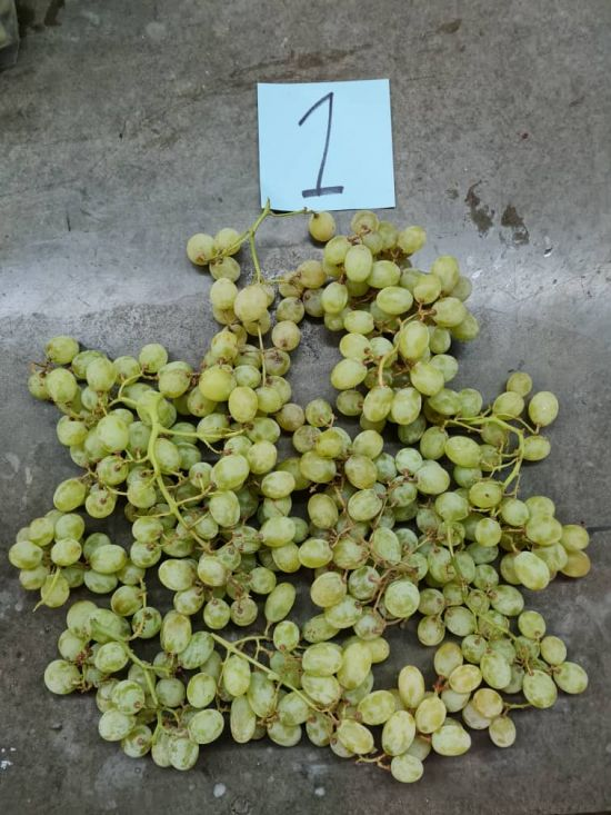 Green tables grapes layed out for inspection